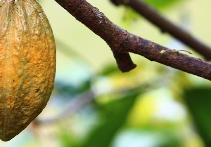 Battle over cocoa prices: a missed opportunity for a fairer and more sustainable chocolate